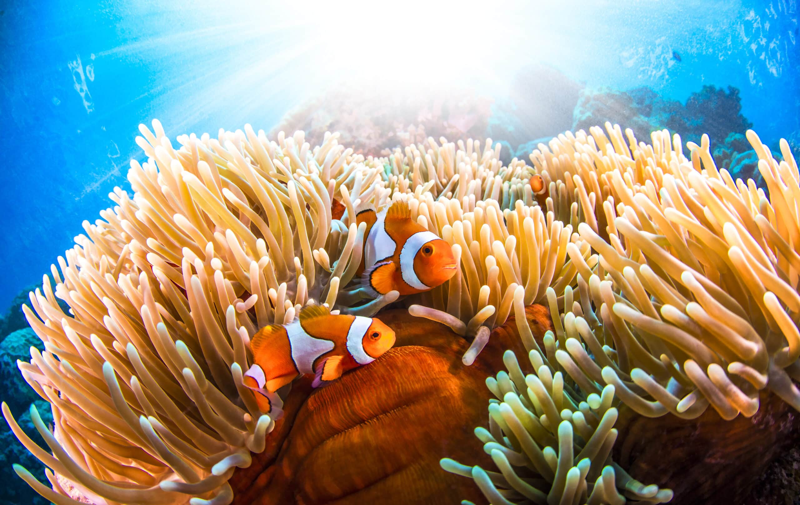 Sailaway Clownfish Sunrays